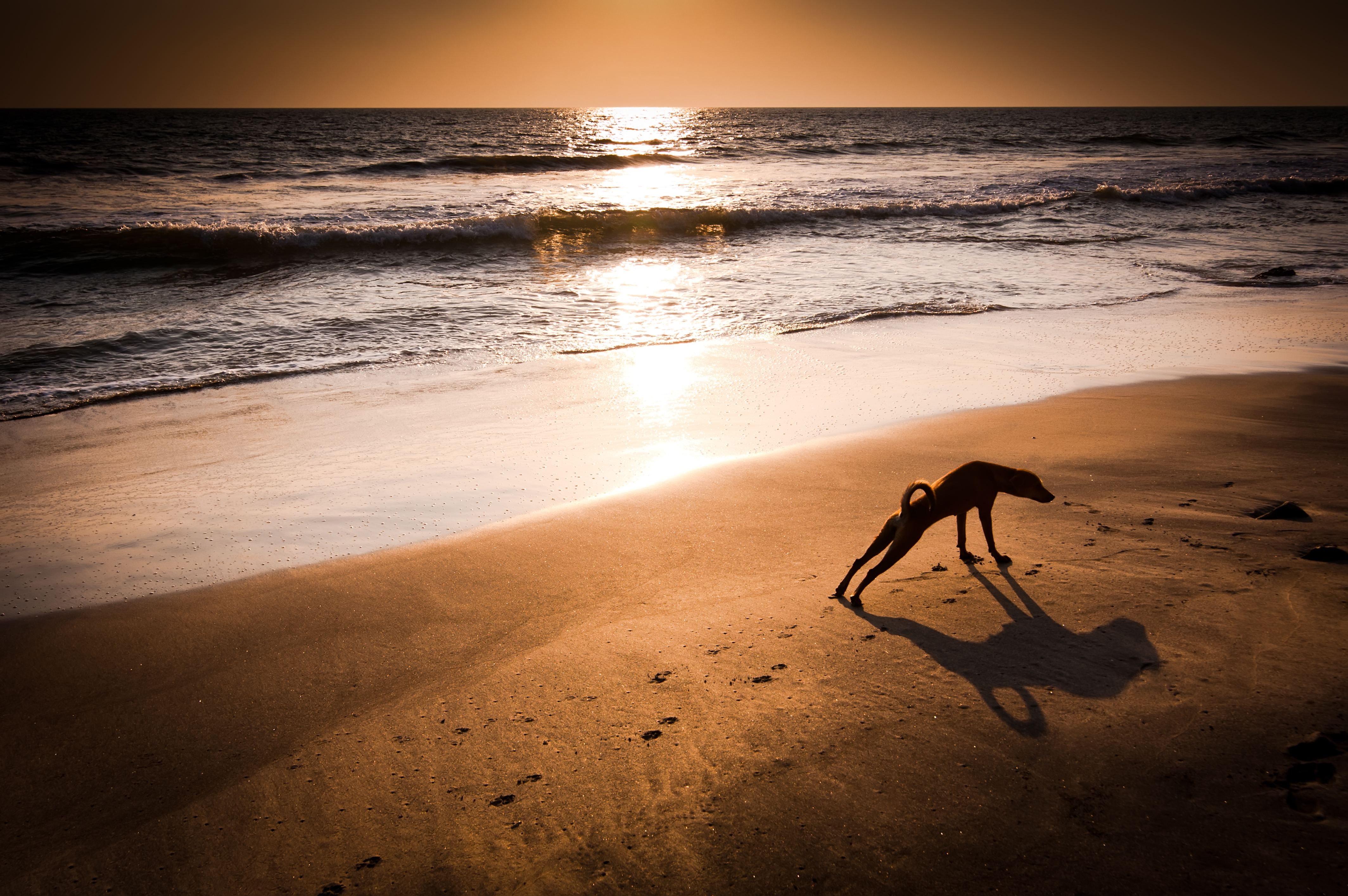 Concept idea of dog yoga. Dog in yoga position Urdhva Mukha Svanasana (Upward Facing Dog) at tropical beach under evening sun. India